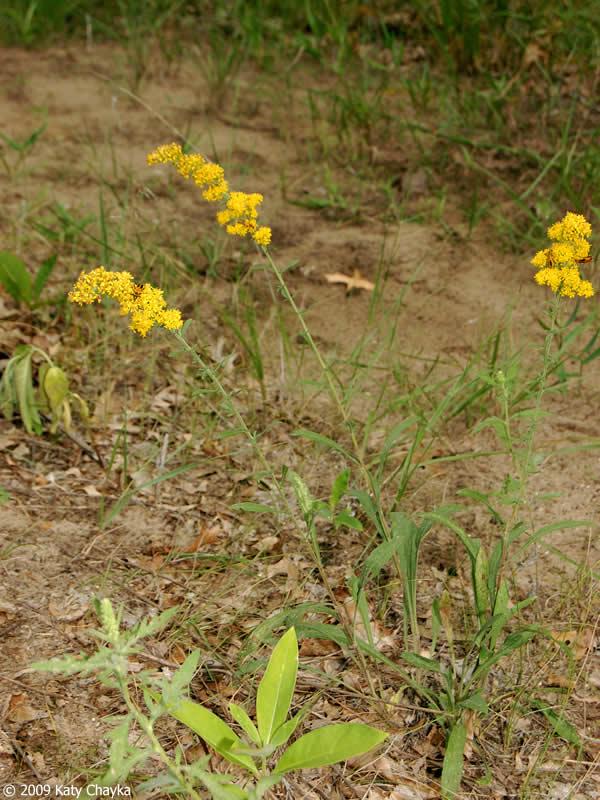 solidago nemoralis  gray goldenrod   minnesota wildflowers