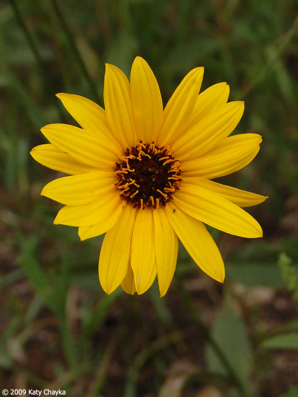 Helianthus pauciflorus stiff sunflower minnesota wildflowers photo of flowers yellow sunflower mightylinksfo