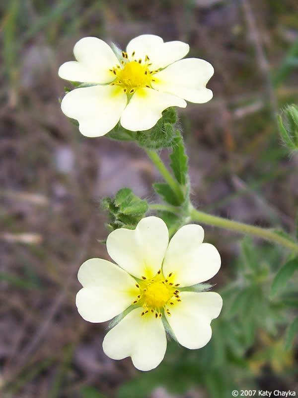 Potentilla recta sulphur cinquefoil minnesota wildflowers flowers mightylinksfo