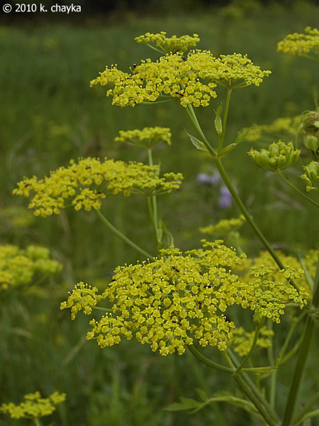 Pastinaca sativa wild parsnip minnesota wildflowers photo of flowers yellow mightylinksfo
