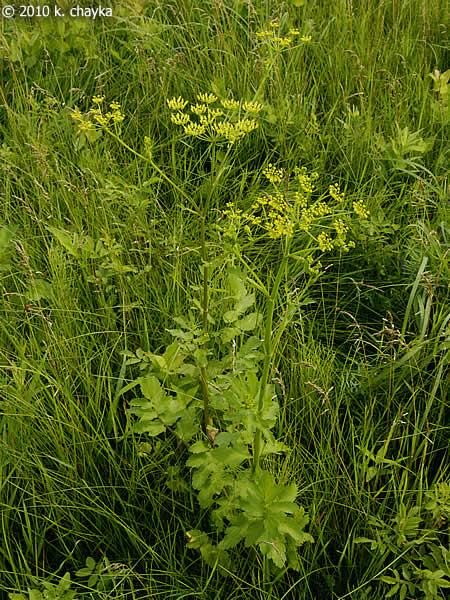pastinaca sativa  wild parsnip   minnesota wildflowers