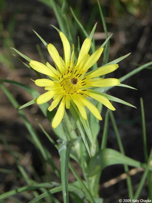 Tragopogon dubius yellow goats beard minnesota wildflowers photo of flower mightylinksfo