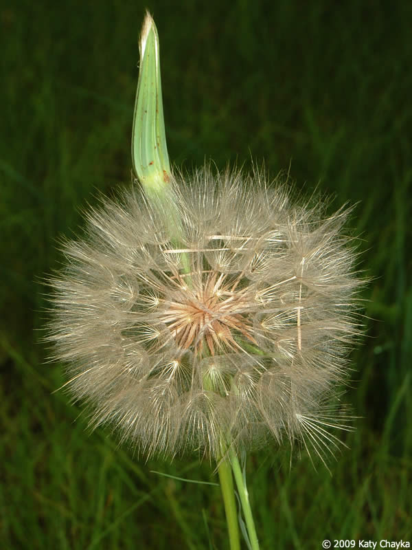 Giant Goat Head Seed Head is a Giant